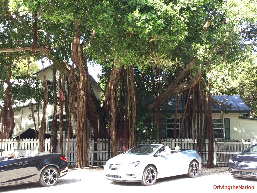 beautiful banyan tree The Moorings, Islamorada, Florida